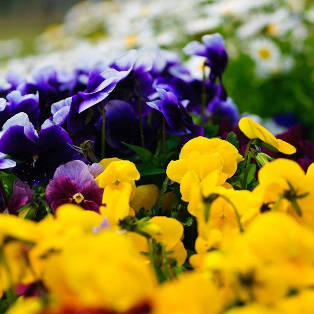 #flowerphoto #はなまっぷ #花フレンド #ザ花部 #instagramers #instagramjapan #icu_japan #top_pointview #team_jp_ #team_jp_西 #ig_japan #igersjp #wu_japan #ig_nihon #lavers_nippon #ig_nippon #love_nippon #ip_gallery #photoisland #fukuoka #ip_connect #tokyocameraclub #bestjapanpics #東京カメラ部 #ink361_asia #japan #olloclip #写真好きな人と繋がりたい #ファインダー越しの私の世界